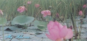 Цветы Лотос в Хабаровском края
